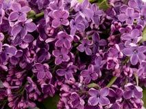 Lilac roxo Imagem de Stock