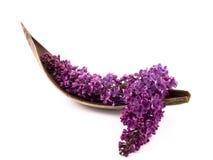 Lilac roxo Fotografia de Stock