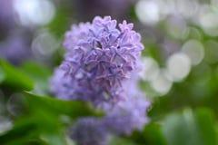 Lilac roxo Foto de Stock