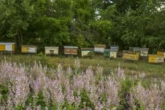 Lilac sage flowers and wooden old bee hives. Beekeeping, farming. royalty free stock photography
