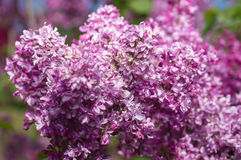 Lilac selective focus Stock Photography