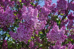 Lilac selective focus Royalty Free Stock Photography