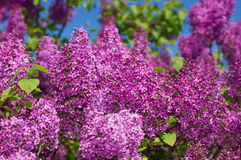 Lilac selective focus Stock Images