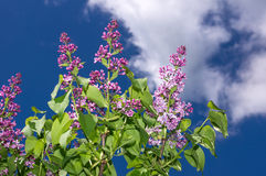 Lilac selective focus Royalty Free Stock Photo
