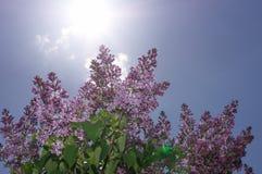 Lilac selective focus Royalty Free Stock Photos
