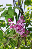 Lilac selective focus Royalty Free Stock Images