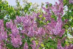 Lilac selective focus Stock Photos
