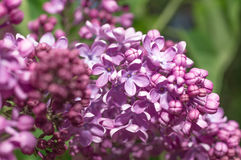Lilac selective focus Stock Photo