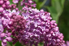 Lilac selective focus Royalty Free Stock Image