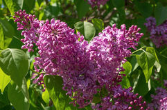 Lilac selective focus Stock Image
