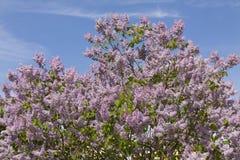 Lilac Royalty Free Stock Photo
