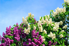 Lilac shrubs in bloom Royalty Free Stock Photography