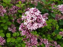 Lilac siringa blossoms. Close-up blossoms in spring stock image