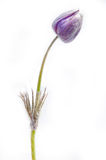 Lilac snowdrop flower bud isolated. Stock Photos