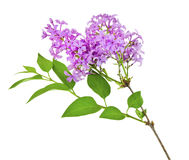 Lilac. Sprig of fragrant flowering spring lilac. Isolated Stock Image