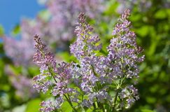 Lilac in the spring Royalty Free Stock Image