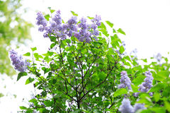 Lilac at spring Royalty Free Stock Photography