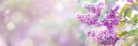 Lilac spring blossom Stock Images