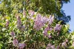 Lilac in spring Stock Photography