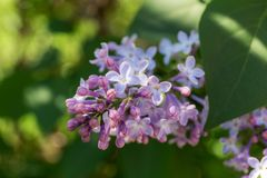 Lilac in spring close up Royalty Free Stock Photography