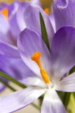 Lilac spring crocus Royalty Free Stock Images