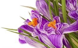 Lilac spring crocus Royalty Free Stock Photography