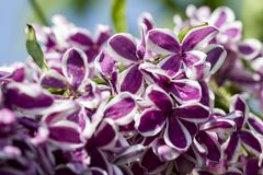 Lilac in spring, gentle floral artistic image royalty free stock photos