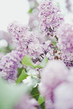 Lilac, spring, light, warm, flowers, flower, magic, summer, park, tree. Lilac in the park in St.Petersburg Royalty Free Stock Photography