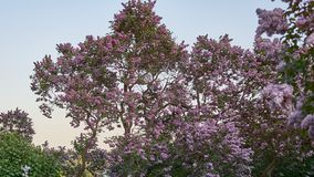 Lilac at spring sunset stock images