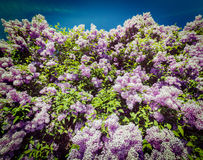 Lilac in spring Royalty Free Stock Photo