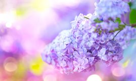 Lilac spring violet flowers bunch. Beautiful blooming violet Lilac flower in a garden. Closeup stock image