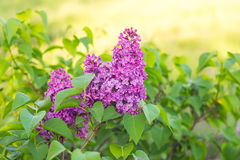 Lilac in the springtime. Royalty Free Stock Photo