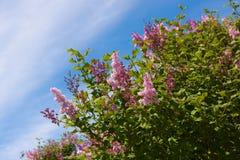 Lilac struik Royalty-vrije Stock Foto's