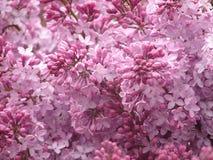 Lilac Struik Stock Afbeeldingen