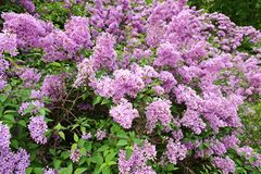 Lilac struik stock afbeelding