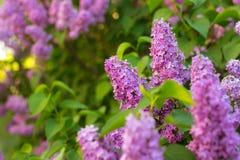 Lilac struik in bloesem Royalty-vrije Stock Afbeelding