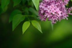 Lilac struik in de lente Royalty-vrije Stock Afbeeldingen