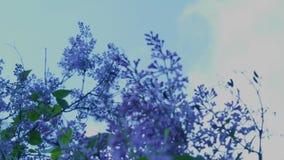 Lilac struik en boom (verticale pan) stock footage