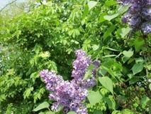 Lilac struik en Oudere boom royalty-vrije stock foto