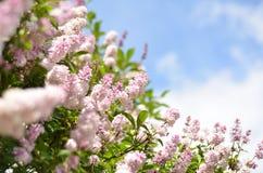 Lilac struik over hemelachtergrond stock afbeeldingen