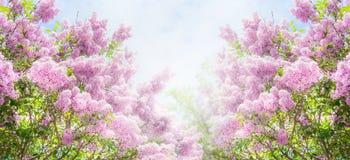 Lilac struik over hemelachtergrond Lilac bloemen in tuin of park Royalty-vrije Stock Foto's