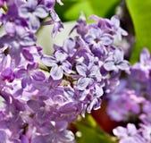 Lilac struiken Royalty-vrije Stock Afbeelding