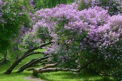 Lilac struiken stock afbeelding