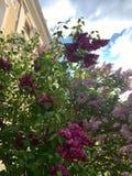 Lilac struiken met bloemen van drie verschillende kleuren stock afbeelding