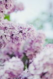 Lilac. Summer lilac in the park in St.Petersburg Royalty Free Stock Photos