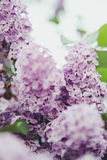 Lilac. In sun lights in the park in spring Royalty Free Stock Images