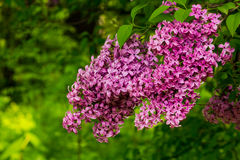 Lilac in the sun Royalty Free Stock Image