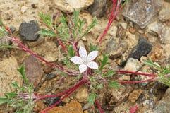 Lilac Sunbonnet Flower Stock Image