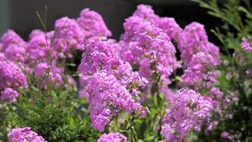 Lilac on a sunny day stock footage