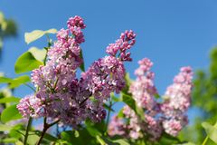 Lilac on a sunny spring day Royalty Free Stock Photos